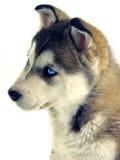 Husky. Siberian Husky with blue eyes on white Royalty Free Stock Image
