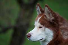Husky. A gorgeous husky walking in the park Stock Images