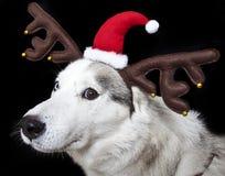 Husky Stock Image