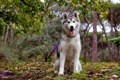 Husky Fotografie Stock