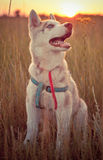 Husky. Dog on a field at sunset Royalty Free Stock Images