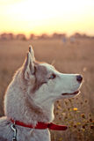 Husky. The dog asks to eat at the owner Royalty Free Stock Image