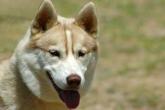 husky Стоковое Изображение RF