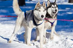 Husky. Sled-dogs getting ready for ride Stock Image