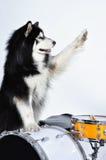 Husky Fotografia Royalty Free
