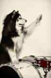 Husky zdjęcie royalty free