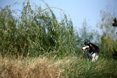 Husky. A young male husky in park stock photo