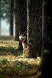 Husky. A young male husky dog,outdoors stock photography