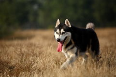 Husky stock photos