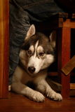 Husky. A young husky in bar stock photo