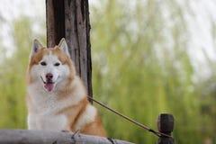 Husky Stock Photography