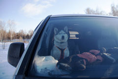 husky Foto de Stock Royalty Free