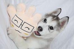 husky Foto de Stock