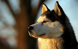 Husky. Dog looking at the sunset Stock Photo