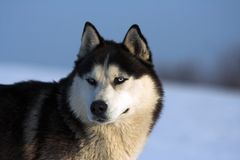 Husky. Looking straight at the camera Royalty Free Stock Images