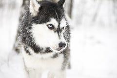 husky Imagem de Stock