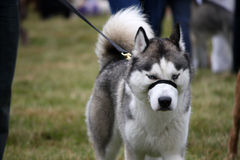 Husky. Grumpy looking Husky dog going for a walk in the countryside Stock Photo