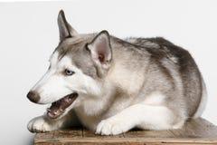 husky Royalty-vrije Stock Afbeeldingen