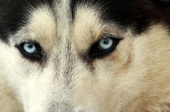 Husky. Looking straight at the camera Royalty Free Stock Photo