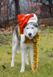 Husky Stock Photography