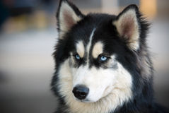 Husky. A fluffy blue-eyed husky Stock Photo