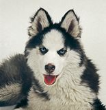 Husky Royalty Free Stock Photography