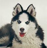 Husky. Portrait of a husky dog Royalty Free Stock Photography