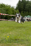 Husky in action Stock Photography