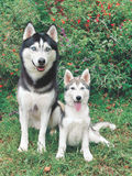 Husky adult and puppy. Siberian husky adult and puppy sitting down stock image