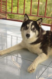 Husky. It is amazing and unusual to see a Siberian Husky in the Philippines.Thought the weather is hotter this dog survives Royalty Free Stock Image
