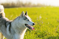 Husky on autumn field with lighting sun Royalty Free Stock Photo
