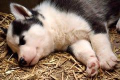 Husky Baby addormentato Immagini Stock Libere da Diritti