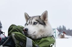 Husky in a backpack on the back of a skier. Close up; Idea for transporting large dog on a ski lift stock photos