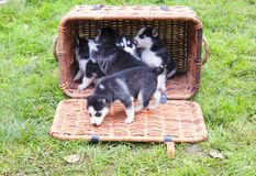 Husky in a basket Stock Images