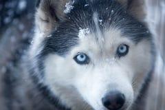 Husky bawić się w śniegu obraz royalty free