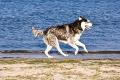 Husky on the beach Stock Image