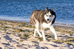 Husky on the beach Royalty Free Stock Images