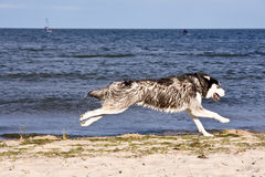 Husky on the beach Royalty Free Stock Photo