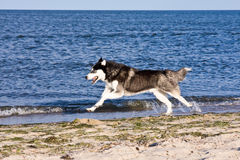 Husky on the beach Stock Images