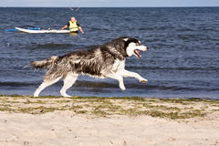 Husky on the beach Stock Photography
