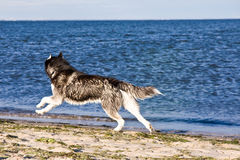 Husky on the beach Royalty Free Stock Photos