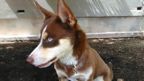 Husky. Beautiful blue eyed huskey Stock Photos