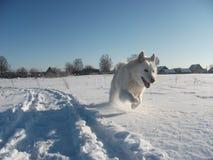 Husky bianco Immagine Stock