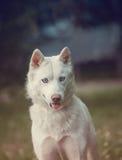 Husky bianco in un parco Fotografia Stock