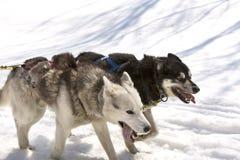Husky biega w drużynie w wiośnie Zdjęcia Stock