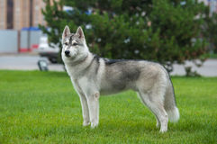 Husky in the big city Stock Images