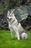 Husky in the big city Royalty Free Stock Photo