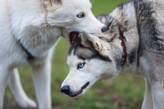 Husky bites Stock Photography