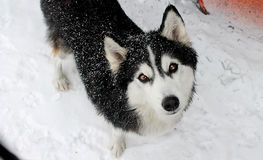 Husky Royalty Free Stock Image