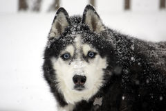 Husky in a Blizzard. A Siberian Husky covered in the snow from a blizzard Stock Image